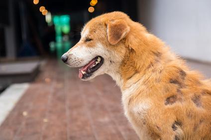 Hund mit Räude wegen Milben