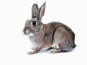 Kaninchen-hat-milben