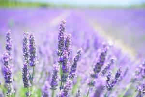 Lavendel-gegen-Milben-Mensch-und-Tier