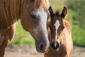Pferd-hat-Milben